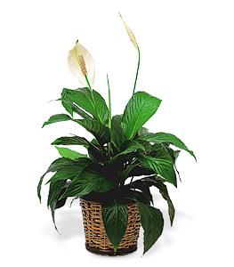 Spathiphyllum ( petit...