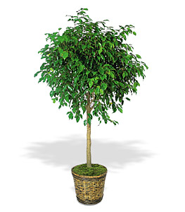 Ficus arbre